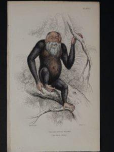 Lizar Monkeys Troglodytes Niger Pl. 1
