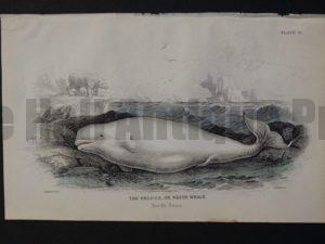 Lizar Whales Beluga or White Whale Pl 13