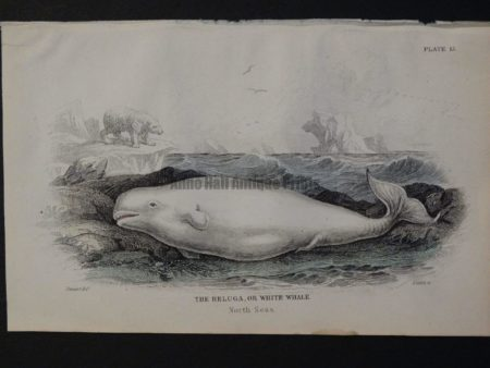 Lizar Whales Beluga or White Whale Pl 13