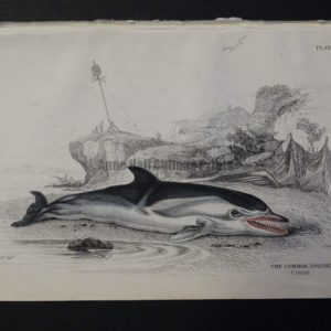 Lizar Whales Common Dolphin Pl 23