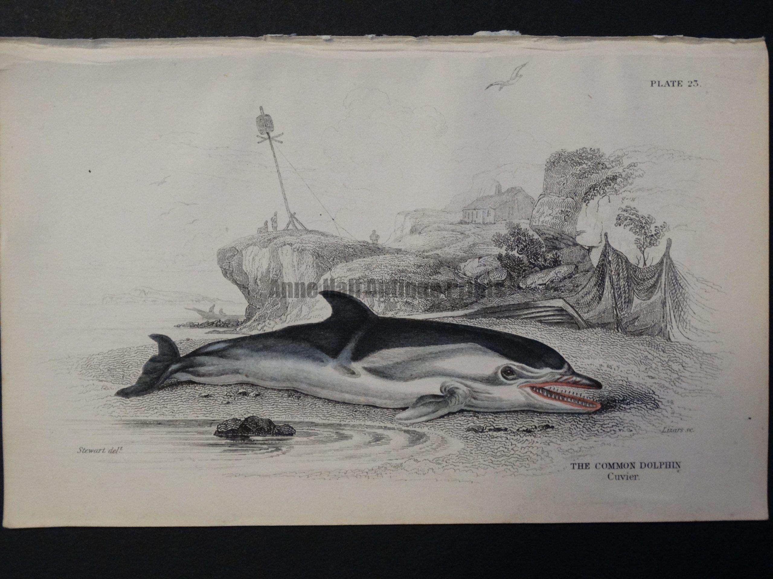 Lizar Whales Common Dolphin Pl 23