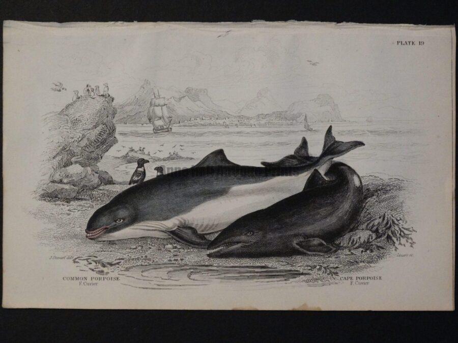 Lizar Whales Common Porpoise Pl 19