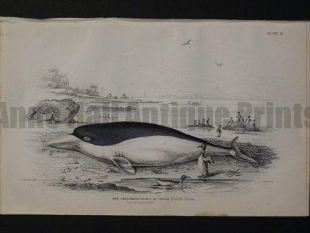 Lizar Whales Delphinapterus of Peron Pl 16