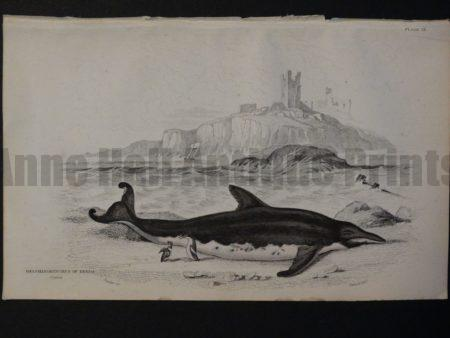 Lizar Whales Delphinorynchus of Breda Pl 27