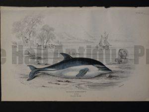 Lizar Whales Delphinus Supercilosus Pl 26