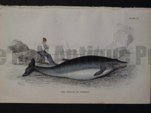 Lizar Whales Diodon of Sowerby Pl 12