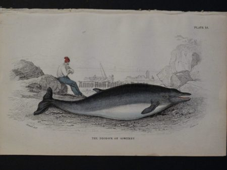 Lizar Whales, Diodon of Sowerby Pl 12, engraving over 100 years old.
