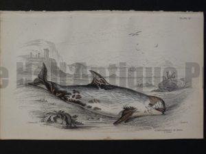 Lizar Whales Globicephalus of Risso Pl 18