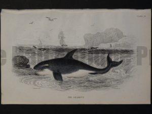 Lizar Whales Grampus Pl 20 Killer Whale