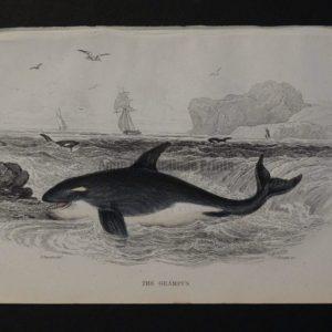 Lizar Whales Grampus Pl 20 Killer Whale, a charming antique engraving c.1860.
