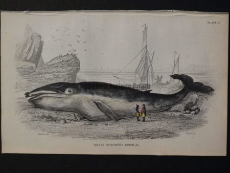 Lizar Whales Great Northern Rorqual Pl 5, engraving depicts the successful beaching of the subject.