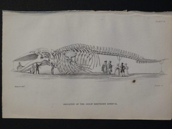 Lizar Whales Great Northern Rorqual Skeleton Pl 6