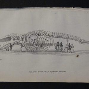 Lizar Whales Great Northern Rorqual Skeleton Pl 6
