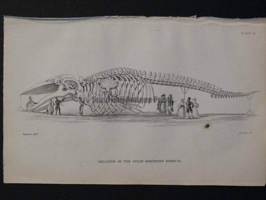 Old engraving showing 9 people inspecting a huge Great Northern Whale or Rorqual Skeleton Pl 6 from Naturalist's Library.