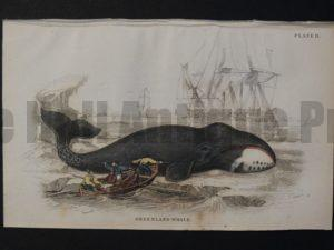 Lizar Whales Greenland Whale Pl 11