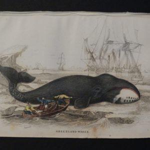 Lizar Whales Greenland Whale Pl 11