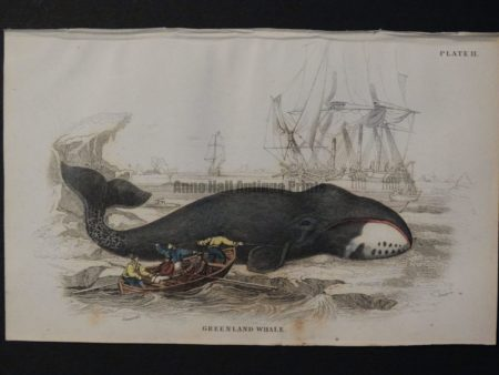 Lizar Whales Greenland Whale Pl 11, scene depicts 5 men in rowboat, 2 of them are harpooning a baleen. $125.