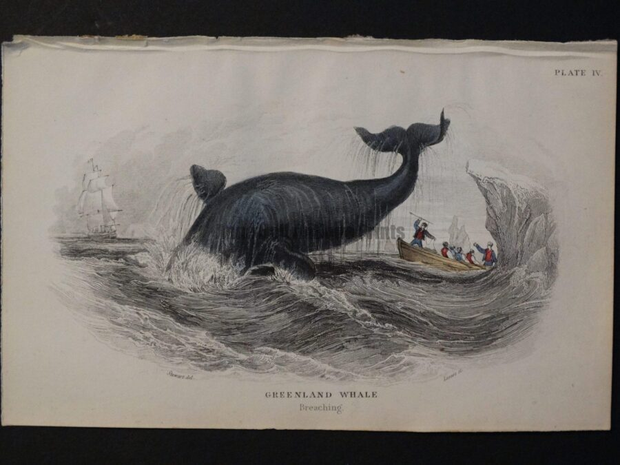 Lizar Whales Greenland Whale Pl 4. The subject is breaching, whaleboat, oarsmen, harpooning, icebergs.