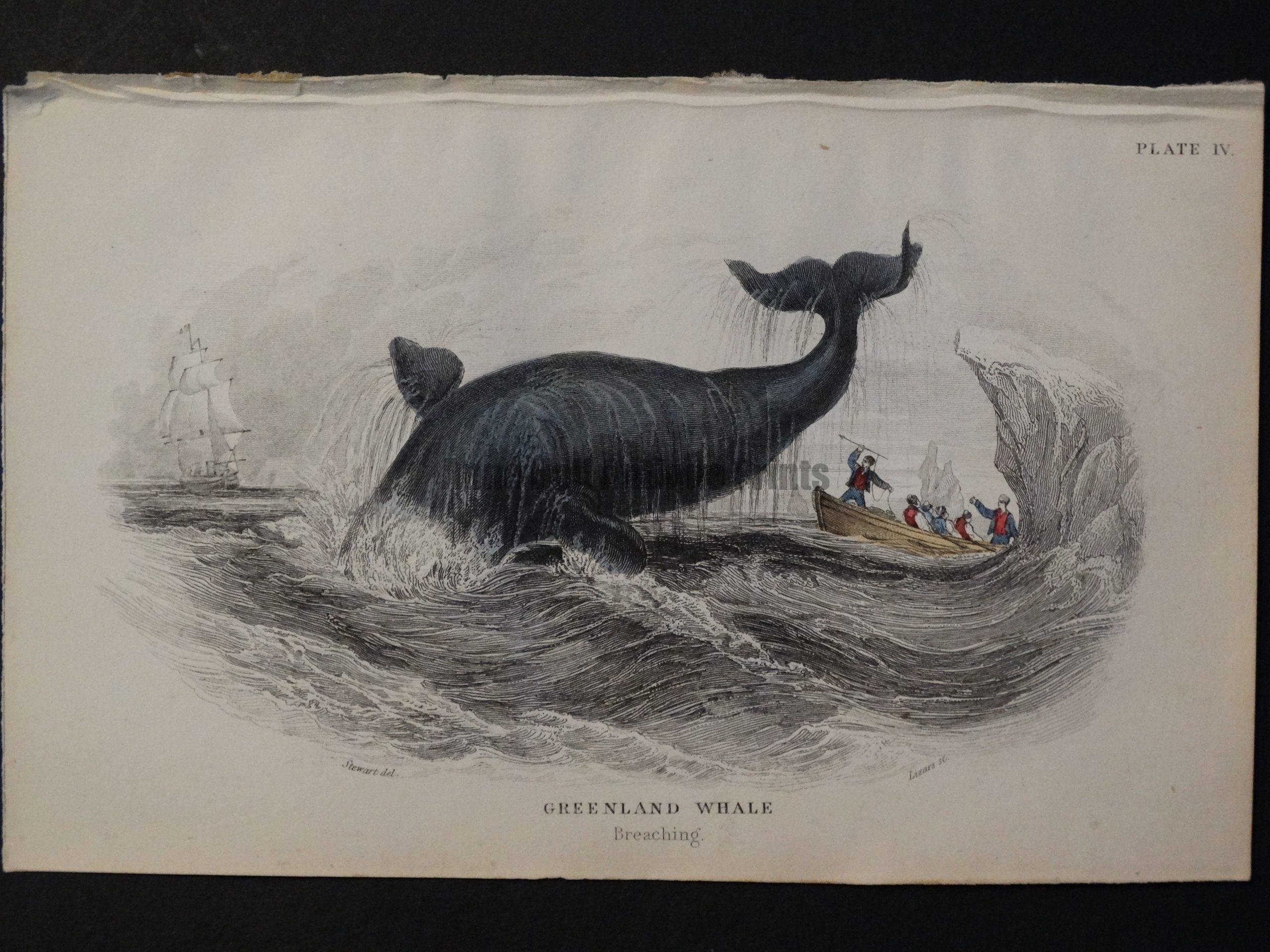 Lizar Whales Greenland Whale Pl 4 (2)