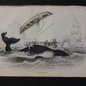 Lizar Whales Greenland Whale Pl 4