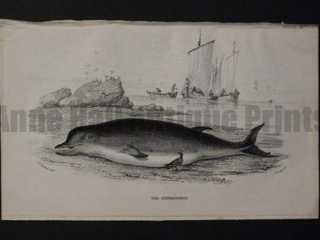 Lizar Whales Hyperoodon Pl 13