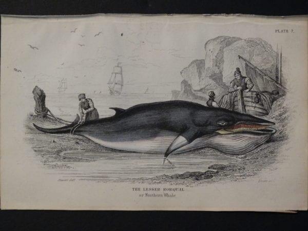 Lizar Whales Lesser Rorqual Pl 7