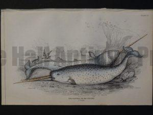 Lizar Whales Narwhal or Sea Unicorn Pl 11