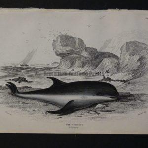 Lizar Whales P. Griseus Pl 21