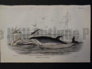 Lizar Whales Pernettys Dolphin Pl 24