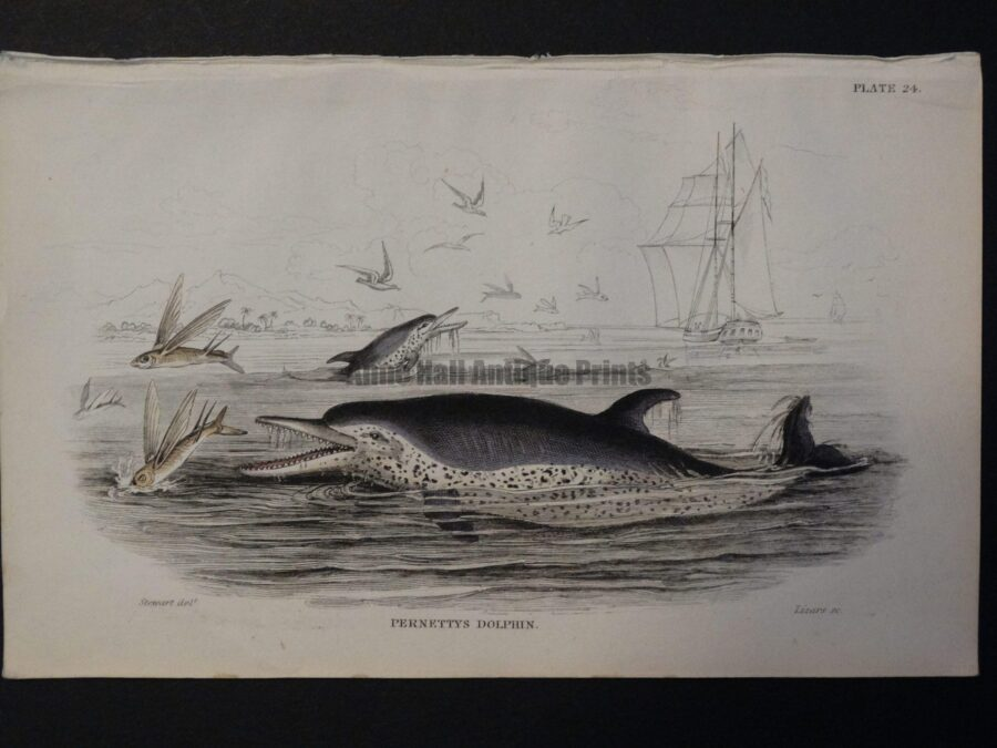 Lizar Whales Pernettys Dolphin Pl 24, subjects are jumping out of the water to catch flying fish.