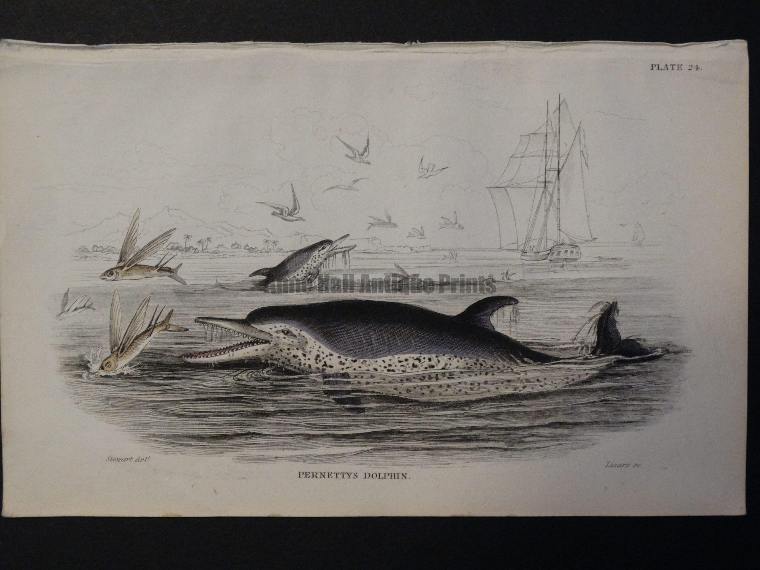 Lizar Whales Pernettys Dolphin Pl 24