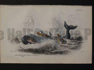 Lizar Whales Spermaceti Whale Pl 10. Antique engraving depicting men rowing in whaleboat actively harpooning the subject in distress, and 5 men from another boat are overboard.