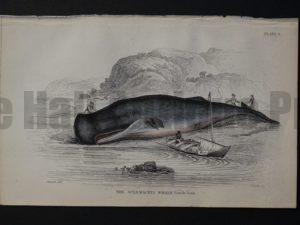 Lizar Whales Spermaceti Whale Pl 8. Engraving depicts the whaleboat has successfully beached the subject.
