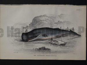 Lizar Whales Spermaceti Whale Pl 8
