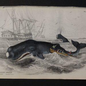 Lizar Whales Spermaceti Whale Pl 9