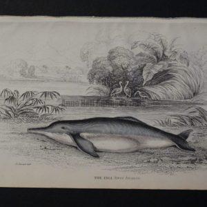 Lizar Whales The Inia Pl 29