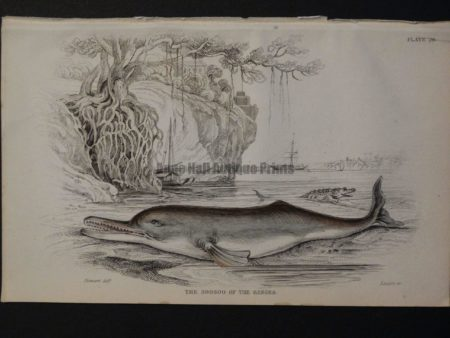 Lizar Whales The Soosoo of the Ganges Pl 28