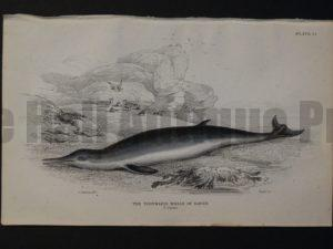 Lizar Whales Toothless Whale of Havre Pl 14