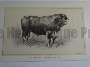 Longhorn Bull Prince Victor