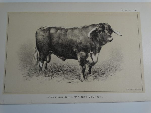 an 1888 lithograph of a Longhorn Bull Prince Victor