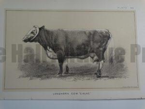 Longhorn Cow Calke