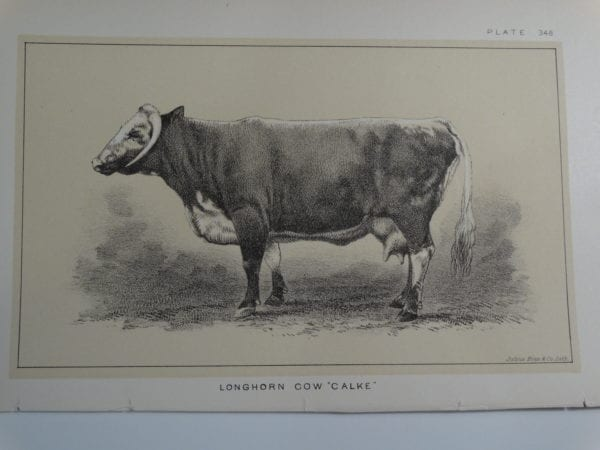 an 1888 lithograph of a Longhorn Cow Calke
