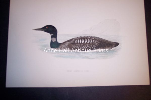 "Loon 1890 English H/C Engraving 6 1/2 x 9 1/2"" #1137 125."