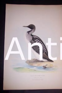 Loon print. English hand colored Lithograph published by Meyers in 1860. #1138. $200.