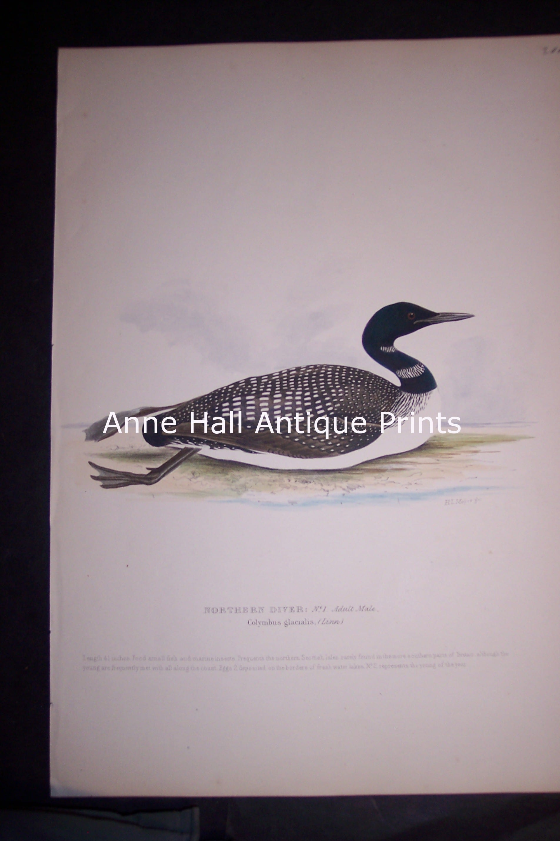 Loon H/C Lithograph by Meyers 1139