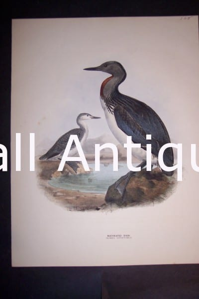 "Loon English H/C Lithograph by Dresser. 1871-1898. 9 1/2 x 12 1/2"" # 1140 $125."