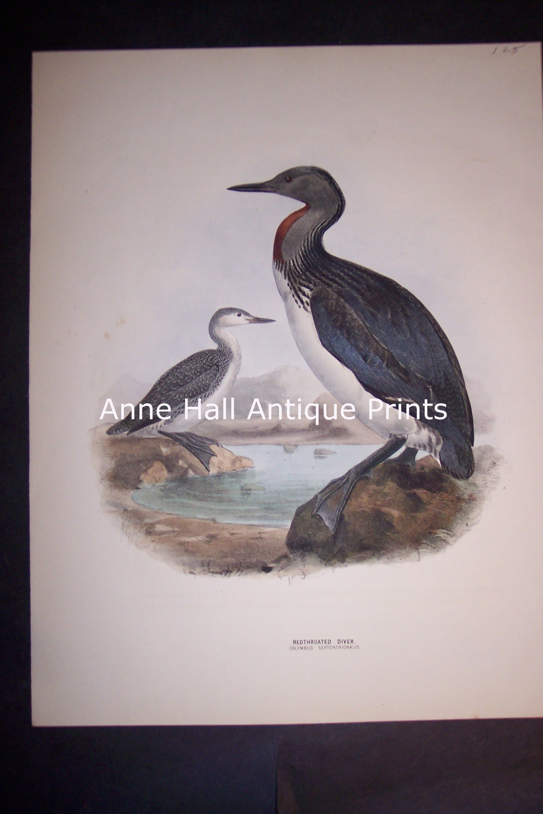 """Loon English H/C Lithograph by Dresser. 1871-1898. 9 1/2 x 12 1/2"""" # 1140 $125."""