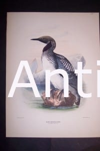 """Loon English H/C Lithograph by Dresser. 1871-1898. 9 1/2 x 12 1/2"""" # 1141 $175."""
