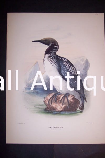 "Loon English H/C Lithograph by Dresser. 1871-1898. 9 1/2 x 12 1/2"" # 1141 $175."
