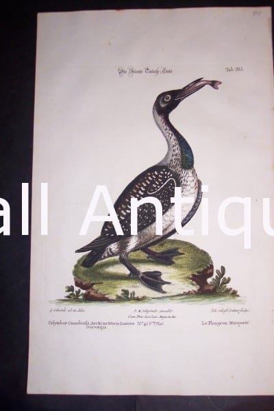 "Loon 1748 H/C Copper Plate Engraving by George Edwards, Nuremburg, 9 1/2 x 15"" #1142 500."